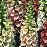 Digitalis Purpurea Foxglove Mix - 1,000 Seeds