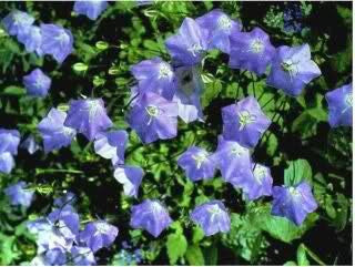 The Dirty Gardener Campanula Carpatica Bellflower Flowers, 5 Seeds
