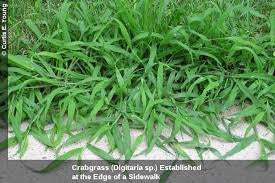 The Dirty Gardener The Dirty Gardener Crabgrass