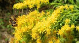 The Dirty Gardener Goldenrod Flower Seeds, 1 Ounce