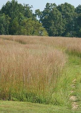 Schizachyrium Scoparium Little Bluestem Grass, 400 Seeds