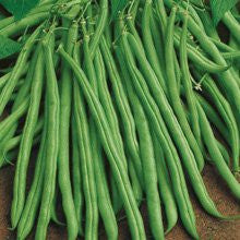 The Dirty Gardener Tendergreen Bush Beans