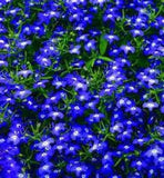 100 Electric Blue & White Half Moon Lobelia Erinus Flower Seeds From The Dirty Gardener - The Dirty Gardener