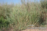 Switchgrass Seed 1# Bulk Pounds From The Dirty Gardener