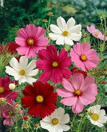 Cosmos Sensation Mix 100 Seeds From The Dirty Gardener