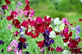 Sweet Pea Early Multiflora Flower Seeds Bulk 1#
