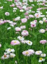 Flower Lawn- Mix of Low Growing Grass and Flowers- No Mowing. 5# Bulk
