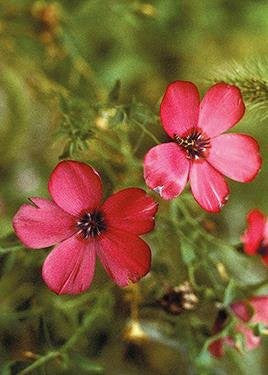 The Dirty Gardener Linum Grandiflorum Rubrum Scarlet Flax, 400 Seeds