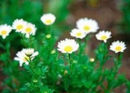 The Dirty Gardener Roman Chamomile, 130 Seeds