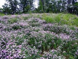 The Dirty Gardener Pink Flowering Crown Vetch