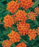 Butterfly Weed Seed- 100 Seeds from The Dirty Gardener