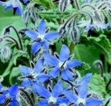 Herb Seeds - Borage - 50 Seeds from The Dirty Gardener