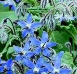 The Dirty Gardener Herb Borage
