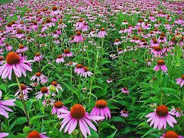 1000 Purple Coneflower Seeds From The Dirty Gardener