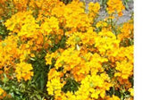 Cheiranthus Allionii Siberian Wallflower Flowers - 4,700 Seeds