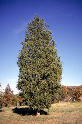 The Dirty Gardener Juniperus Virginiana Eastern Red Cedar Tree