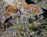 The Dirty Gardener Gilia Tricolor Bird's Eyes Wildflowers