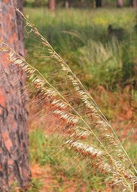 The Dirty Gardener Sorghastrum Secundum Lopsided Indian Grass, 400 Seeds