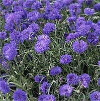 Centaurea Cyanus Cornflower Bachelors Button Flowers - 100 Seeds