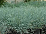 The Dirty Gardener Blue Wild Rye Seed, 1 Pound