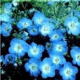 The Dirty Gardener The Dirty Gardener Nemophila Menziesii Baby Blue Eyes Flowers, 500 Seeds