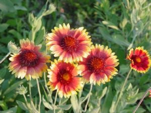 The Dirty Gardener Blanketflower Flowers, 2,000 Seeds