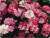 The Dirty Gardener Candytuft Wildflowers, 100 Seeds