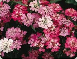 100 Seeds of Candytuft Wildflower Seeds - The Dirty Gardener