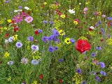 Annual Wildflower Seed Mix 1 full Oz From The Dirty Gardener