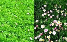 Flower Lawn- Mix of Low Growing Grass and Flowers- No Mowing. 2# Bulk