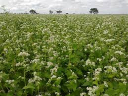 Buckwheat Seed 25# for Cover Crop From The Dirty Gardener