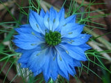 The Dirty Gardener Nigella Damascena Love in a Mist Fennel Flower Mix - 500 Seeds