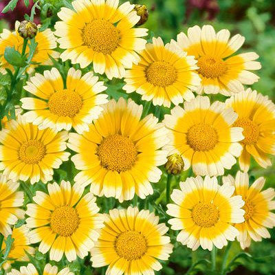 The Dirty Gardener Organic Garland Daisy, 1 Pound