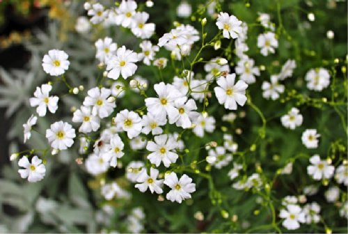 The Dirty Gardener Gypsophila Elegans Covent Market Garden Flowers, 22,000 Seeds