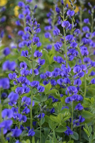 Baptisia Australis False Wild Indigo Flowers, 50 Seeds