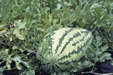 Heirloom Organic Jubilee Watermelons - 25+ Seeds
