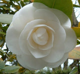 Touch Me Not Double Camellia Impatiens - 100 Seeds