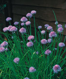 The Dirty Gardener Herb Chives