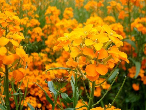 The Dirty Gardener Erysimum Siberian Wallflower Flowers