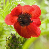 The Dirty Gardener Pheasant's Eye Flowers - 100 Seeds