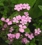 The Dirty Gardener Saponaria Ocymoides Rock Soapwort Flowers - 500 Seeds