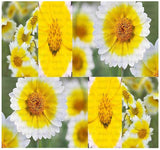 Layia Playglossa Tidy Tips Seeds Flowers - 1,300 Seeds