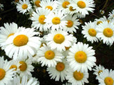 The Dirty Gardener Shasta Daisy Flowers, 0.5 Pound