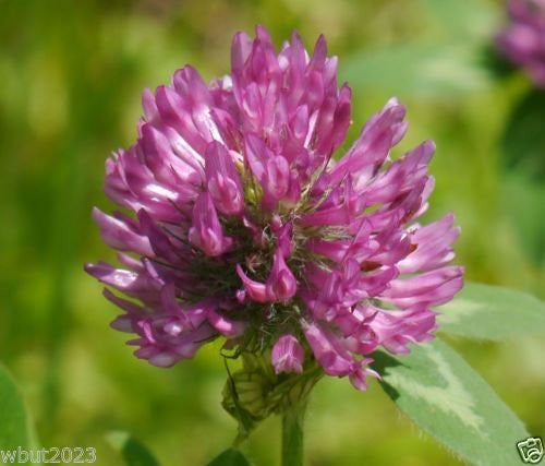 The Dirty Gardener Red Clover Seed