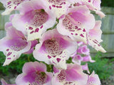 Digitalis Purpurea Dwarf Foxy Foxglove Mix, 1,000 Seeds