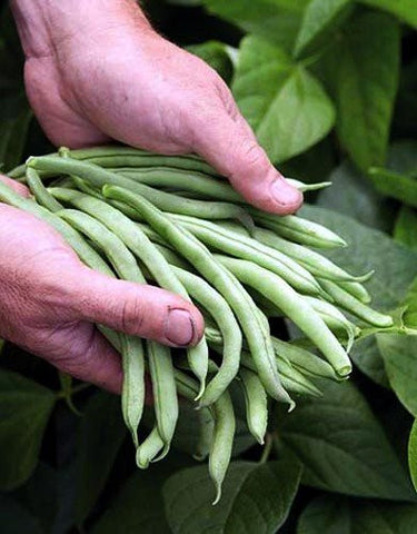 Topcrop Bush Bean- 1 Pound, 1500+ Seeds from The Dirty Gardener
