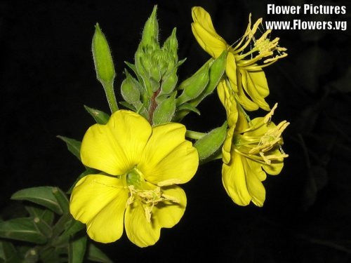The Dirty Gardener Oenothera Lamarckiana Yellow Evening Primrose Flowers, 1,000 Seeds