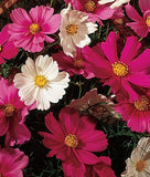 Cosmos Bipinnatus Sensation Flower Mix - 30 Seeds