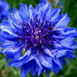 The Dirty Gardener Heritage Centaurea Cyanus Double Cornflower Flowers, 700 Seeds/.1 Gram