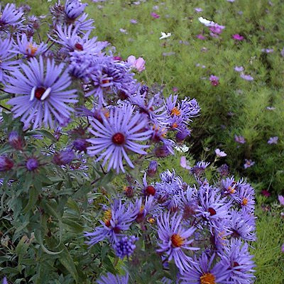 The Dirty Gardener Novae Var Angliae New England Aster Flowers
